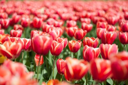 Field of red tulips in summer sunny day in outside shooting Stock Photo
