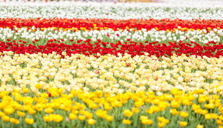 Rows of tulips of different colors in a field in summer day