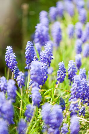 Grape hyacinth or pink lilac bloomig in nature