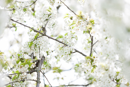 Blooming trees in spring in outside image in close up. Spring and flowers Stock Photo