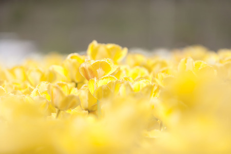 outside shooting: Yellow tulips in garden with blurred background in outside shooting. Flowers and nature