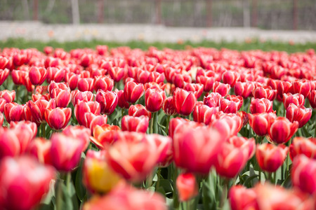 outside shooting: Field of red tulips in summer sunny day in outside shooting Stock Photo