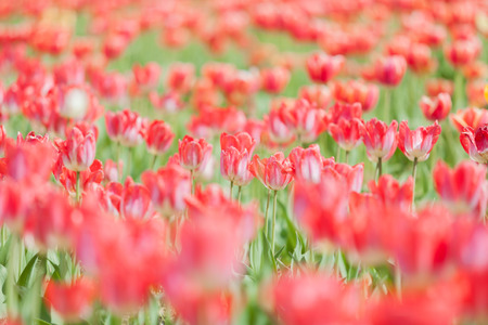 Red tulips on blured background in summer sunny day in vintage toning