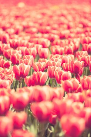 Red tulips in the field in worm sunny day