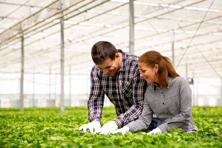 Two agronomist engineer controls the quality of the salad plantation.Greenhouse background