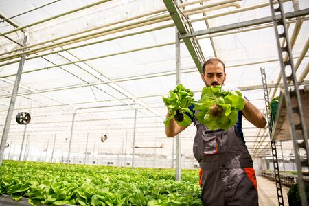 Worker working in the greenhouse near a salad plantation. Fresh salad Stock fotó