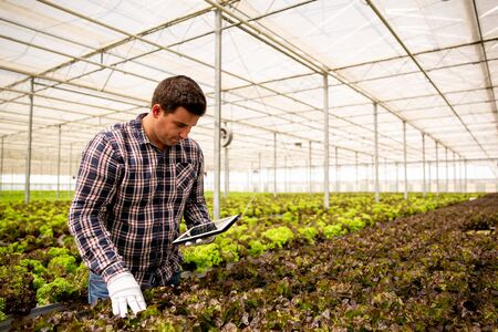 Man worker researches salad plants with tablet in hand. Modern greenhouse