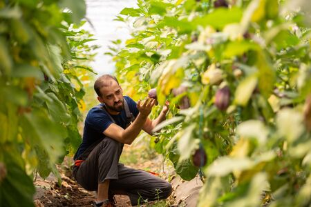 The worker who stands between the eggplant lines and studies them. Fresh eggplant plants Reklamní fotografie