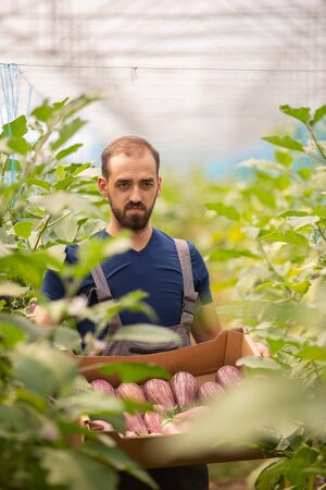 The worker standing with a box of fresh eggplants in his hand between the rows. Fresh harvest Stock fotó