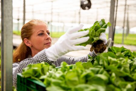 Working woman looks at a salad plant while she puts it in the basket. Greenhouse and organic agriculture