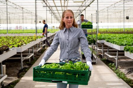 Serious farmer woman holds a crate with salad. Greenhouse and workers
