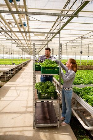 Woman and man workers arrange boxes with salad on cart. Greenhouse background