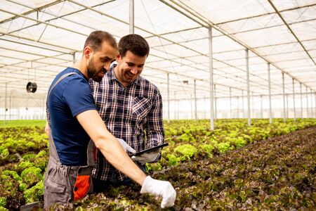 Two researchers monitor the condition of salad plants with tablet in hand. Modern greenhouse