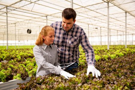 Two agronomists control the quality of salad plants. Greehouse background and tablet