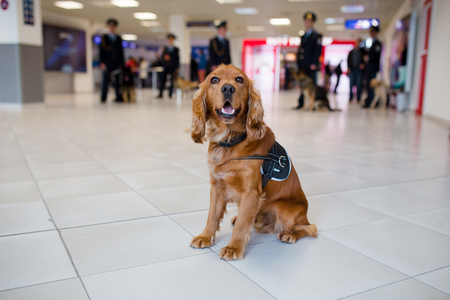 Drug detection dog at the airport searching drugs in the luggages.