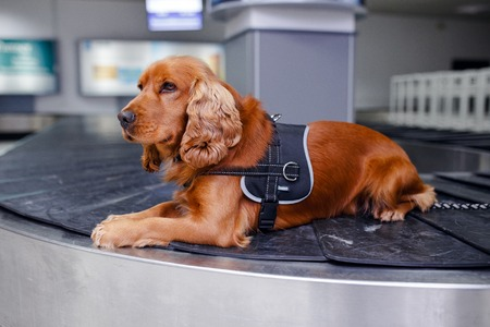 Portrait a cocker spaniel dog for detecting drugs at the airoport sitting and waiting on baggage rolling band on inside the airoport background. Banco de Imagens