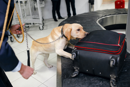 Drug detection dog at the airport in luggages.Horizontal view