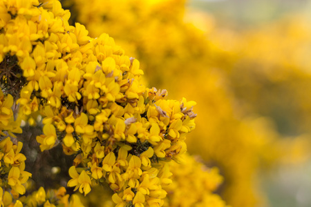 Gorse Close-up, Scotstown Moor in Aberdeen, Scotland Stockfoto