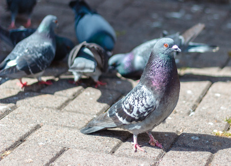 Pigeons on the street in downtown Aberdeen, Scotland