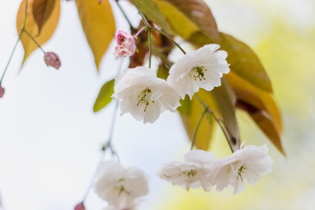 Soft focused White Blossom in Spring Stockfoto