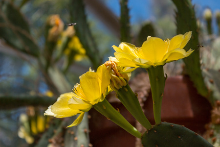 Cactus flower in the blurry background