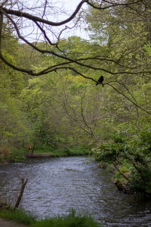 A Crow on a Branch Above a River