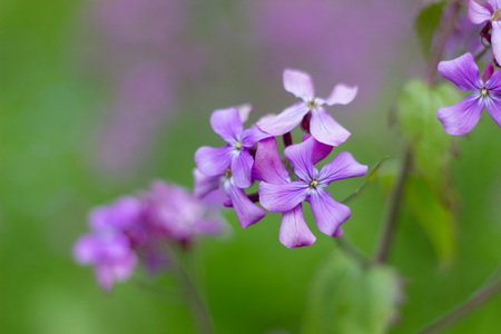 Purple flowers close-up in sprintime, Aberdeen, Scotland Stockfoto