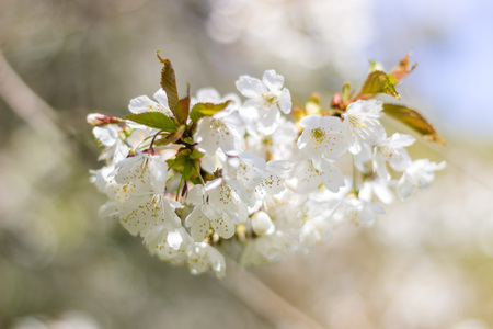 Beautiful white blossom close up, Aberdeen, Scotland