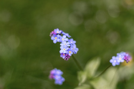 Blue flowers close-up in sprintime, Aberdeen, Scotland