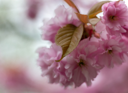 Close-up pink Blossom in spring
