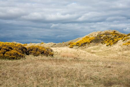 Gorse blooming on the dunes on Balmedie beach, Aberdeenshire