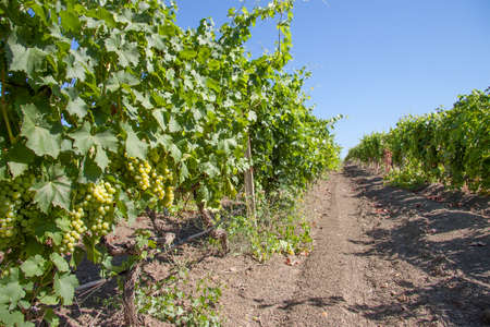 Rows of vine with ripe grapes photo