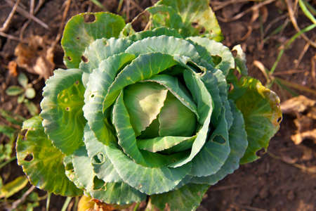 pests: Cabbage damaged by the pests