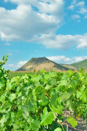 portrait orientation: Vineyard in the valley hear the hills (portrait orientation) Stock Photo