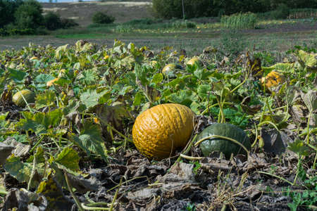 Pumpkins growing on the field in autumn