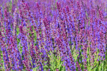 Wild sage growing on the hill in summer Stock Photo