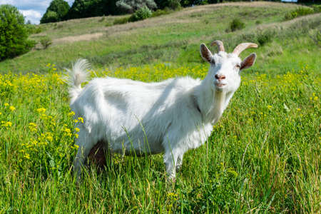 Funny goat on the pasure on the hill with lots of grass and flowers on a sunny day
