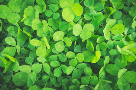 Green clovers growing on the field - floral background