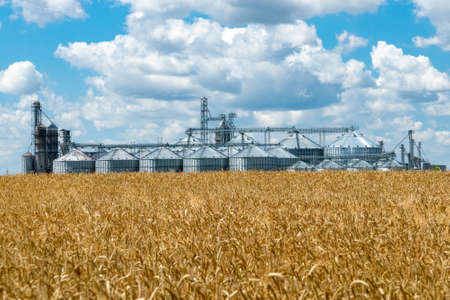 Field of ripe wheat and elevator silos on the background Stock Photo