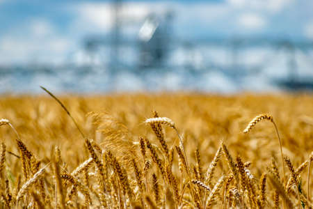 Field of ripe wheat and elevator silos on the background