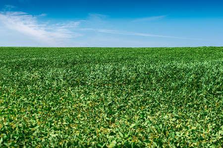 Soybean field with green plants in summer Standard-Bild