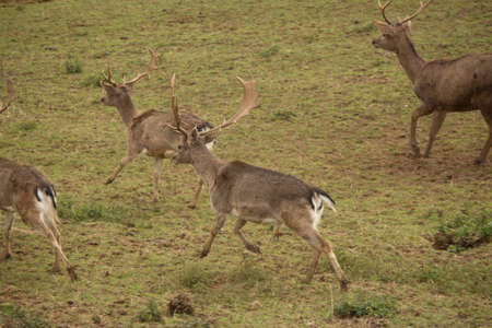 Fallow deer running photo