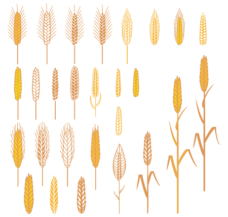 A set of different ears. Cereals plants for design