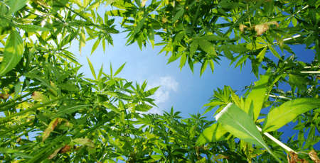 hardly:    Field of hemp. Industrial kind of this plant is not a drug but a resource. It contains hardly any THC