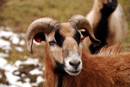 mouflon: Mufl�n macho con un pelaje de invierno y peque�os cuernos