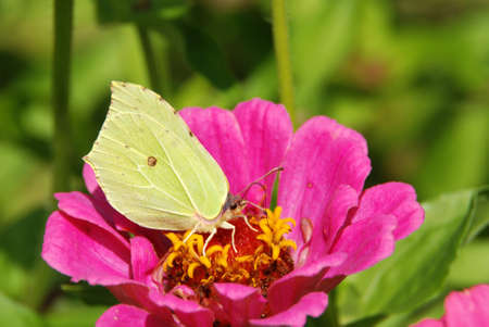 Nice yellow butterfly sitting on a pink flower photo