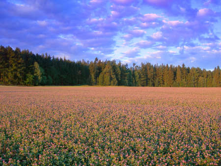 trefoil:           Blooming trefoil meadow with a forest in the back at beautiful sunset