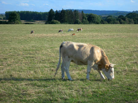 Cow  in the pasture photo