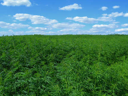 Field of hemp. Industrial kind of this plant is not a drug but a resource. It contains hardly any THC photo
