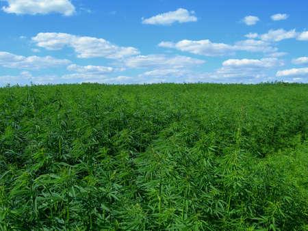 Field of hennep. Industriële soort van deze plant is niet een drug, maar een bron. Het bevat nauwelijks THC